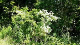 Poison Hemlock- more details on identification and toxicity