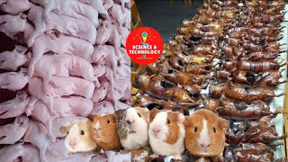 INCREDIBLE GUINEA PIG FARMING-GUINEA PIGS ARE SO CUTE WHY DO PEOPLE EAT THEM?-AMAZING LIVESTOCK FARM