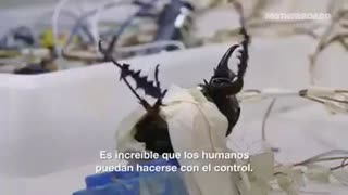 LIVE Beetle Insects Controlled By Electrical Signals In Singapore Labs, Horrifying Cruelty! (2016)