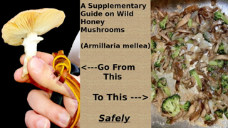 Wild Honey Mushrooms (Armillaria mellea): How to Harvest, Identify, Clean, and Cook