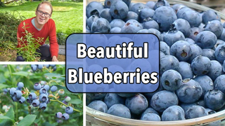 Growing Blueberries From Planting to Harvest