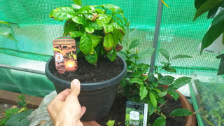 Growing coffee and tea plants in the UK update.