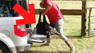 TRAPPING & Taming *WILD PIGS* (How to Trap Wild BOAR) Tame in 2 Weeks! ~Effective Method~
