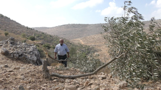 Israeli settlers cut down 300 olive trees in the village of al-Jab'ah, Hebron District, 15 Oct. 2020